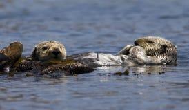 Zeeotter, lontra di mare, enhydra lutris fotografie stock libere da diritti