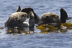 Zeeotter, Sea Otter, Enhydra lutris stock photography