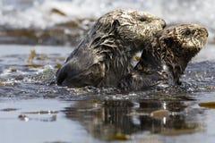 Zeeotter, Sea Otter, Enhydra lutris royalty free stock photo