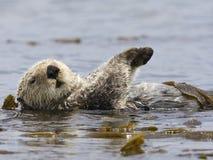 Zeeotter, Sea Otter, Enhydra lutris. Zeeotterdrijvend in kelp Californie USA, Sea Otter floating in kelp California USA stock photos