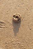 Zeepier of sandworm Stock Afbeeldingen