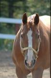 Zeer aantrekkelijke paardmerrie Royalty-vrije Stock Foto
