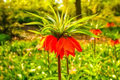 Zeer aardige en mooie tulp zoals een klok in de voorgrond stock afbeeldingen