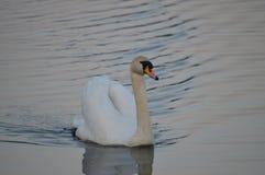 Zeer aardige witte zwaan die op de vijver drijft stock afbeelding