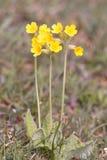 Zeer belangrijke bloem, primulaveris Stock Afbeeldingen