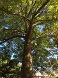 Zeer blad en netelige boom stock foto's