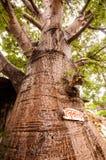 Zeer brede boomstam van baobabboom stock fotografie