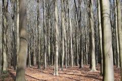 Zeer dicht bos van beukbomen Royalty-vrije Stock Afbeelding