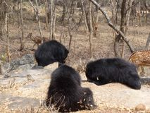 Zeer Dichte breuk van beren stock afbeeldingen