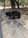 Zeer Dichte breuk van beren Stock Fotografie