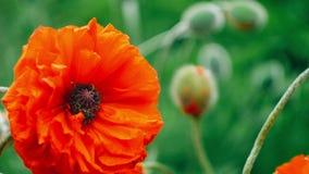 Zeer dichte grote decoratieve rode papaverbloem in de lentedag, 4K 3840 x 2160 UHD stock video