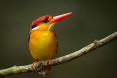 Zeer dichte omhooggaand van Oosterse Dwergijsvogel Royalty-vrije Stock Fotografie