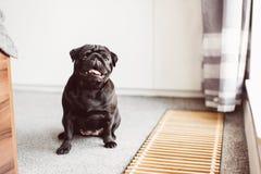 Zeer gelukkige zwarte pug die zich op hotelvloer bevinden Royalty-vrije Stock Foto's