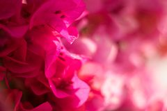 Zeer gevoelige, roze bloemenzachtheid stock foto