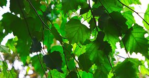Zeer groene backlit bladeren stock footage