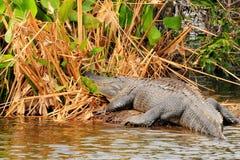 Zeer Grote Alligator Stock Afbeelding