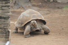 Zeer Grote Bruine Schildpad op een Bruin Royalty-vrije Stock Foto