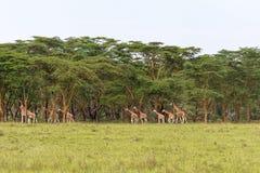 Zeer grote kudde van giraffen Nakuru, Kenia Stock Fotografie