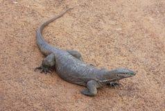 Zeer grote reptilian hagedis in gevangenschap Stock Afbeeldingen