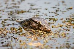 Zeer grote reptilian hagedis in gevangenschap Stock Fotografie