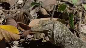 Zeer grote reptilian hagedis in gevangenschap stock footage