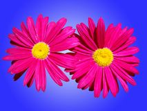Zeer heldere roze bloemen Stock Fotografie