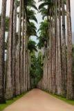Zeer hoge palmen Stock Foto's