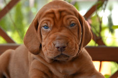 Zeer Jong Puppy Vizsla Stock Foto's