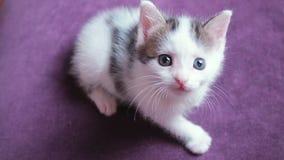Zeer klein oud katje twee weken Het leuke grappige katje let op het stuk speelgoed Weinig babykat op violette achtergrond stock video