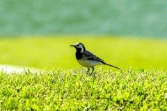 Zeer kleine vogel op het gras Royalty-vrije Stock Foto's