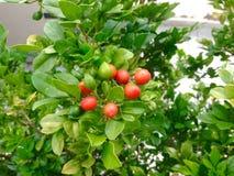 Zeer kleine vruchten Stock Foto's