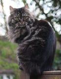 Zeer knap leuk langharig bruin katje Royalty-vrije Stock Afbeeldingen
