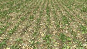 Zeer land van het droogte het droge gebied met bietsuiker Bèta vulgaris altissima, die de grond, klimaatverandering opdrogen, mil stock video