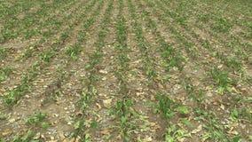 Zeer land van het droogte het droge gebied met bietsuiker B?ta vulgaris altissima, die de grond, klimaatverandering opdrogen, mil stock footage