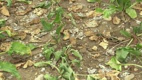 Zeer land van het droogte het droge gebied met bietsuiker B?ta vulgaris altissima, die de grond, klimaatverandering opdrogen, mil stock video