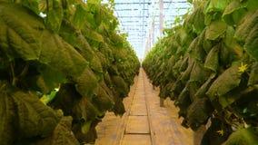 Zeer lange doorgang met komkommerinstallaties in massieve serre stock videobeelden