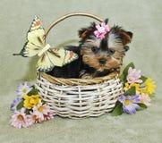 Zeer Leuk Puppy Yorkie Royalty-vrije Stock Afbeeldingen