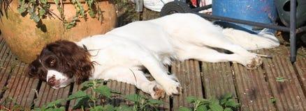 Zeer leuke lever en het witte het werk type Engelse aanzetsteenspaniel ontspannen Stock Afbeelding