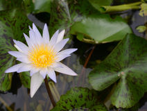 Zeer lichtpaarse lotusbloem, waterlelie in vijver stock foto's