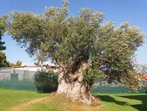 Zeer mooi kweekt een oude olijfboom in Griekenland stock afbeeldingen