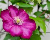 Zeer mooie bloei van een rode roze bloem Royalty-vrije Stock Afbeeldingen