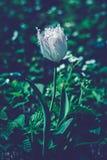 Zeer mooie dichte omhooggaande foto van witte tulp Het middernachtmaanlicht ziet eruit Stock Foto