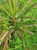 Zeer mooie rode ananasboom royalty-vrije stock afbeeldingen