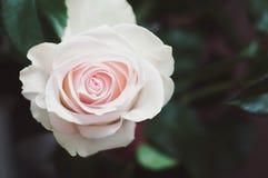 Zeer mooie romantisch nam met koraalbloemblaadjes toe in de linkerhoek van de foto met een kalme verwerking van gekleurd in groen royalty-vrije stock foto