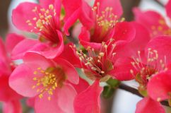Chinees bloeiend krab-Apple stock foto's
