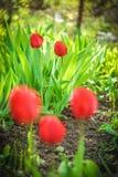 Zeer mooie verticale dichte omhooggaande foto van tulpen De tuin van Nice ziet eruit Royalty-vrije Stock Afbeeldingen