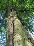 Zeer oude boom die omhoog aan zijn kroon kijken Stock Foto's