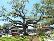Zeer oude boom die zich uit ver vertakt en een KOELE ?draai ?heeft de basis bekijken stock foto
