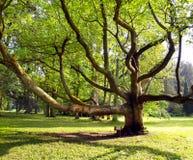 Zeer oude boom in het park Royalty-vrije Stock Afbeeldingen