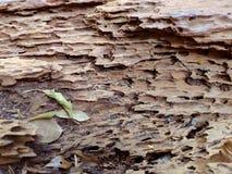 Zeer oude droge boom in de wildernissen volledig rot met barsten Textuur stock fotografie